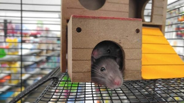 pet rats hiding inside their small house in a cage